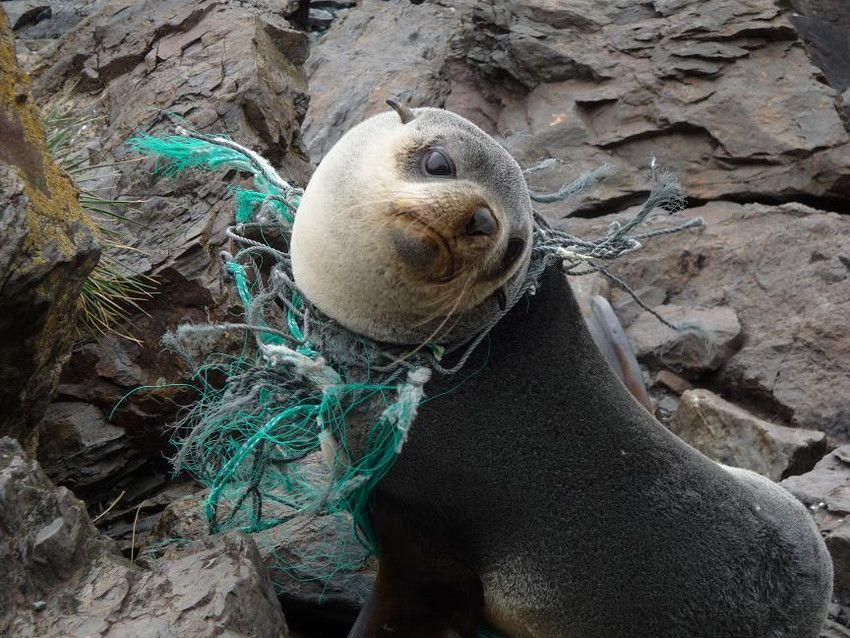 Seal Caught Up In Plastic Pollution The Ocean