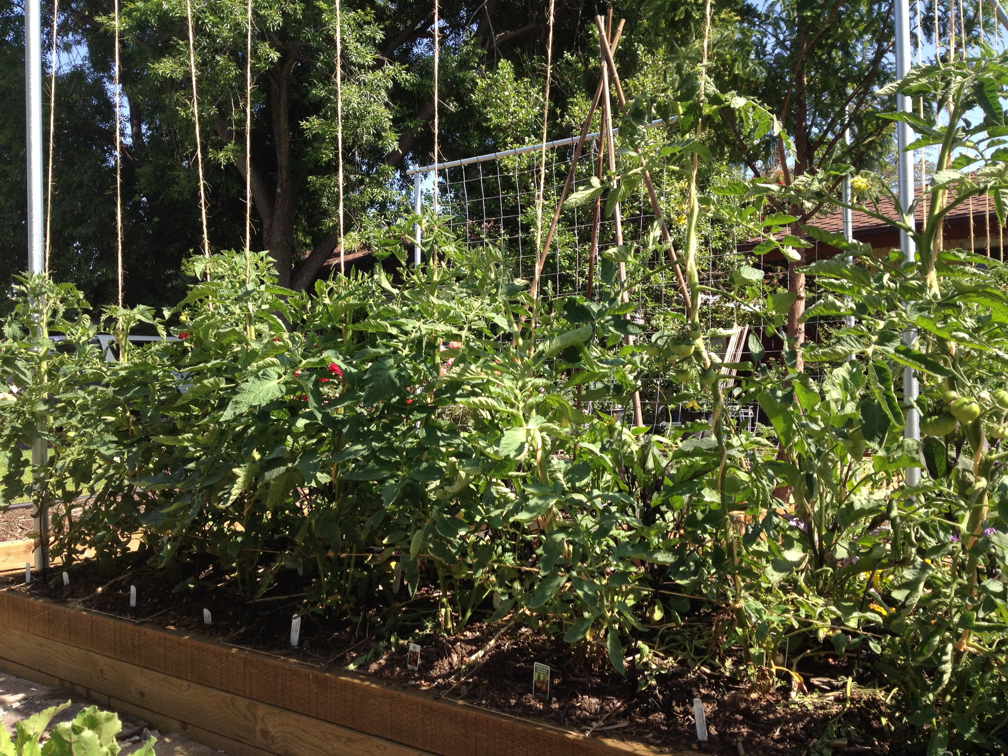 Square Foot Gardening: Tomato Vines Continue To Be Trained Up The Trellis  (05/