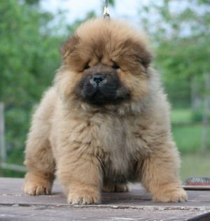 Chow Chow Please Like And Repin Chow Chow Chow Chow Dogs