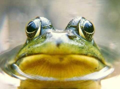 Kiss Me Cute Frogs Frog Toad