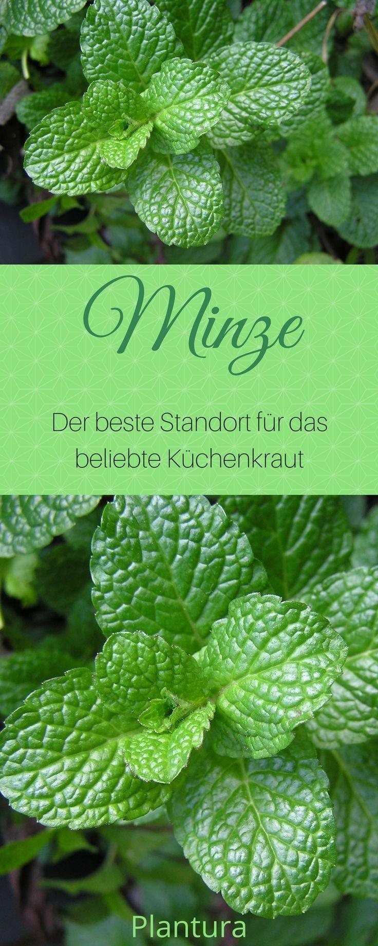 Minze: Das aromatische Heilkraut im eigenen Garten - Plantura