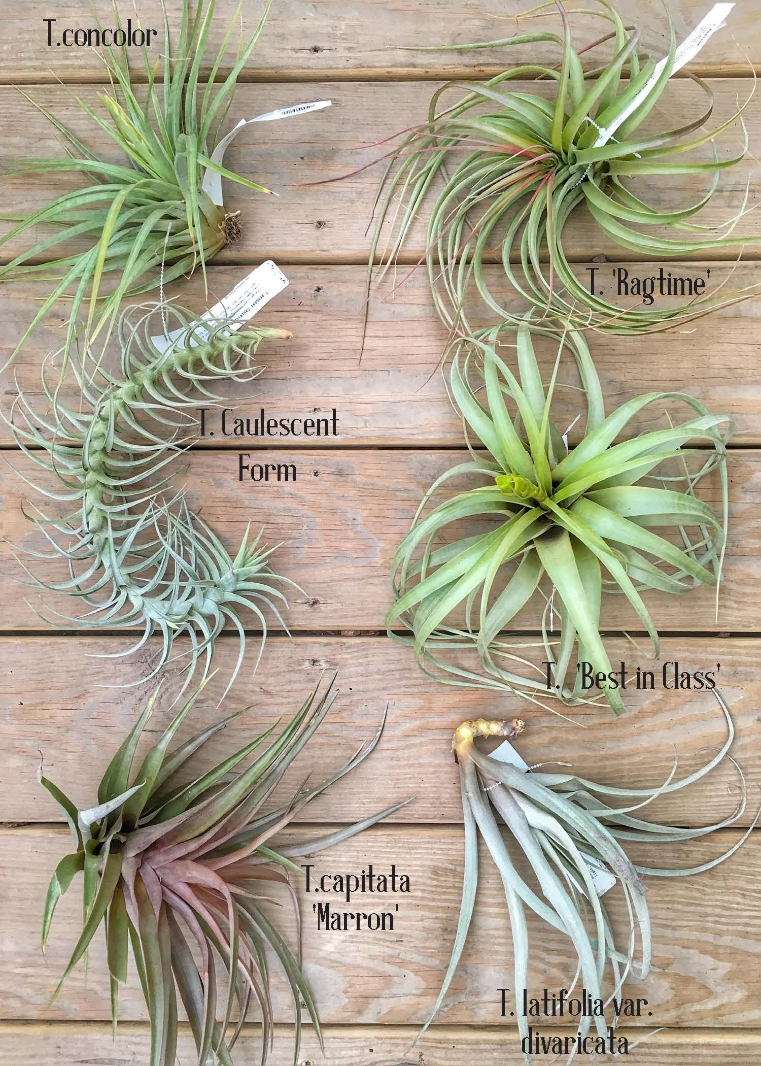 A Guide to Tillandsia, Part Two Types of Air Plants