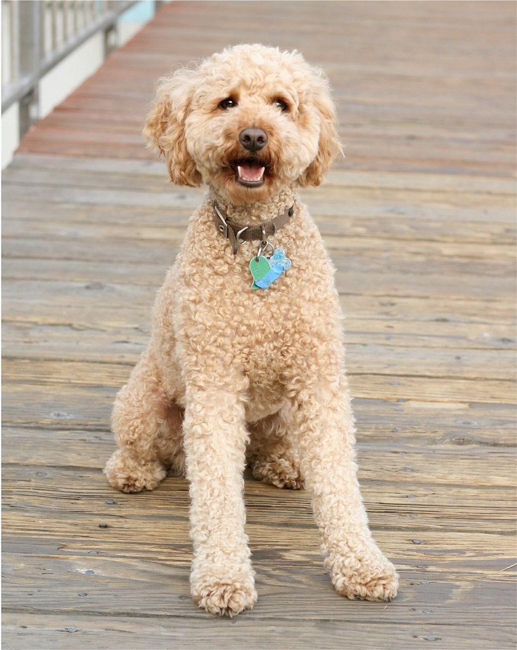 Labrador Poodle Mix Hypoallergenic Dog Breed Labradoodle Dogs