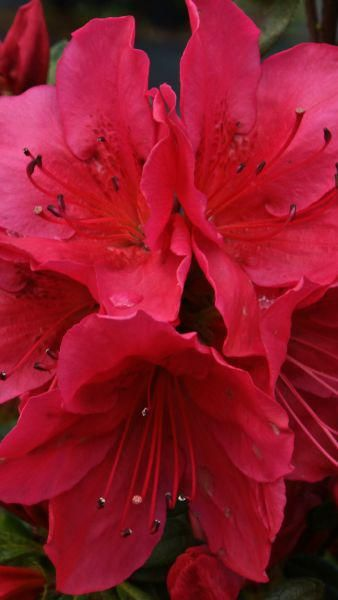 Azalea Hino Crimson Japanese Azaleas For Sale Online Uk Azalea Flower Azaleas Winter Plants
