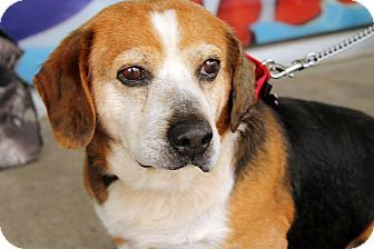 Albany Ny Basset Hound Beagle Mix Meet Hank 8 Years A Dog