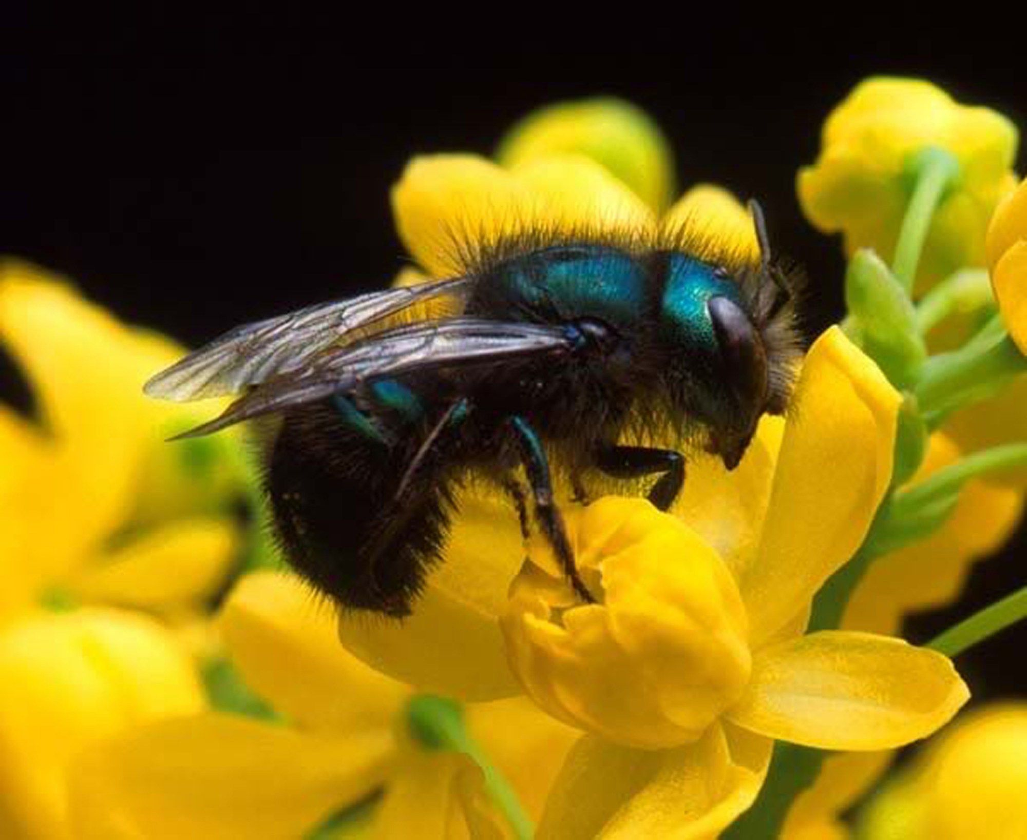 There are actually several hundred bee species that are native to Texas —…