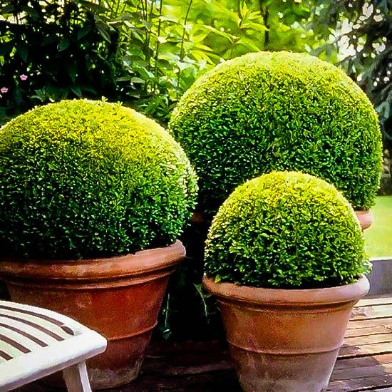 American Boxwood Beautiful Gardens Boxwood Garden Garden