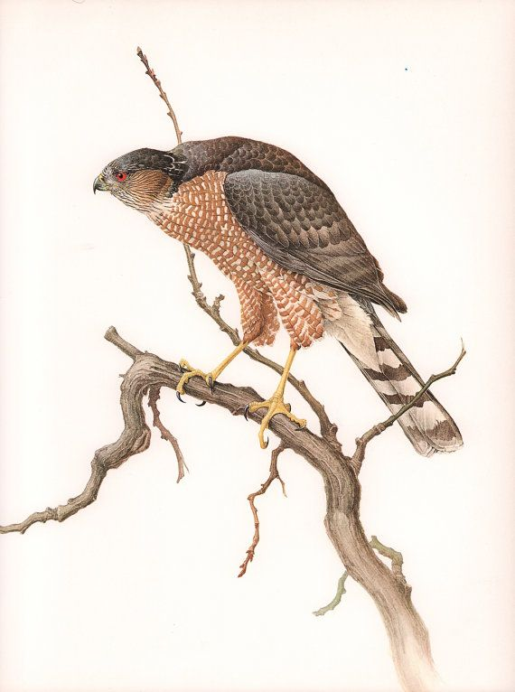 Image result for free art sharp shinned hawk