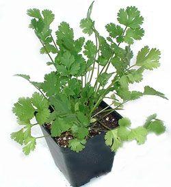 Growing cilantro.