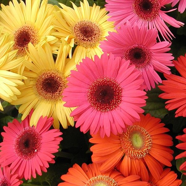 Potted Gerbera Flower Seeds Online Gerbera Flower Seeds