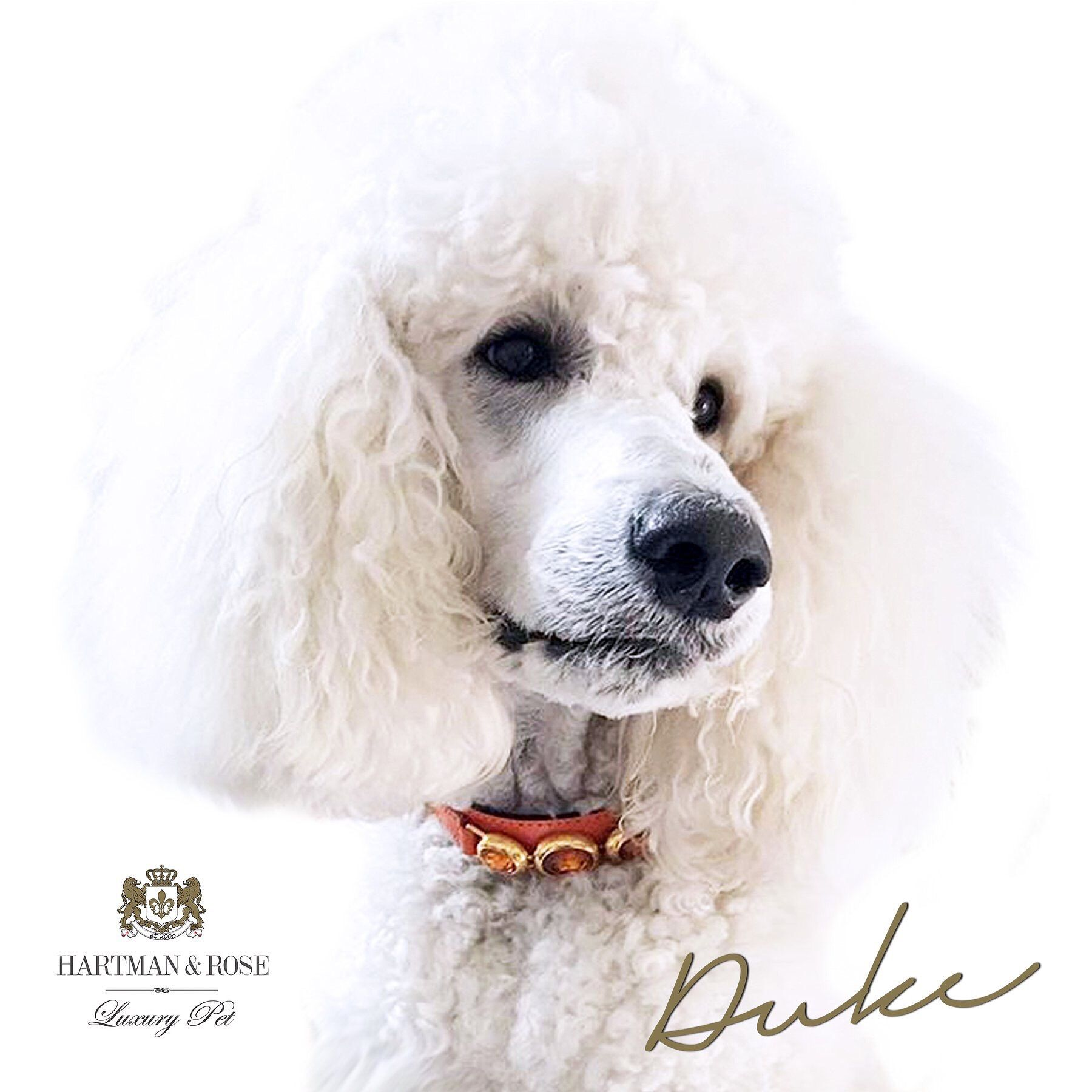 SAVE 50% - use code: AFTEREIGHT  Hartman & Rose Luxury Pet Products www.hartmanandrose.com @hartmanandrose #hartmanandrose @duke_thepoodle This handsome devil is Duke from Sydney, Australia wearing the Regency collar in tangerine. Stunning. Take the Lead & Walk in Style.  Exceptions apply ❤️