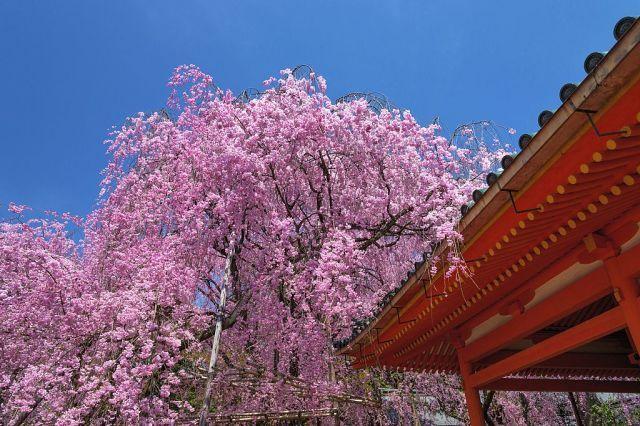 Prunus X Subhirtella Weeping Style In Spring Cherry Blossom Bonsai Tree Bonsai Tree Tattoos Bonsai Styles