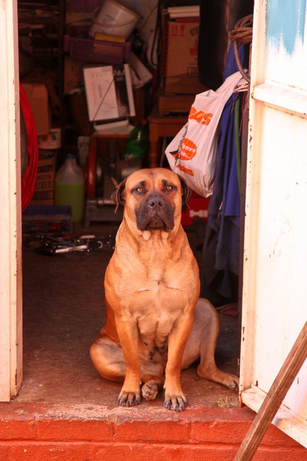 Guard Dog South Africa Rottweiler Puppies Rare Dog Breeds