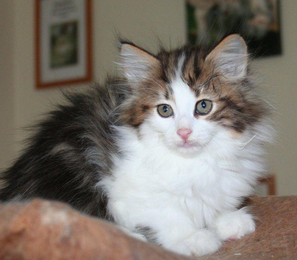 Norwegian Forest Cat Kittens A Breeder Of Kittens Based In The