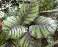 CALATHEA ORBIFOLIA, Peacock Plant Haga clic para ver la imagen a tamaño completo