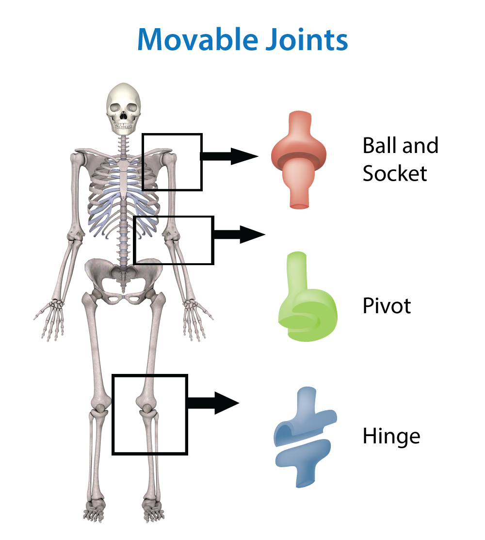 hinge joints examples | HUMANS AT WORK | Pinterest | Skeletal system