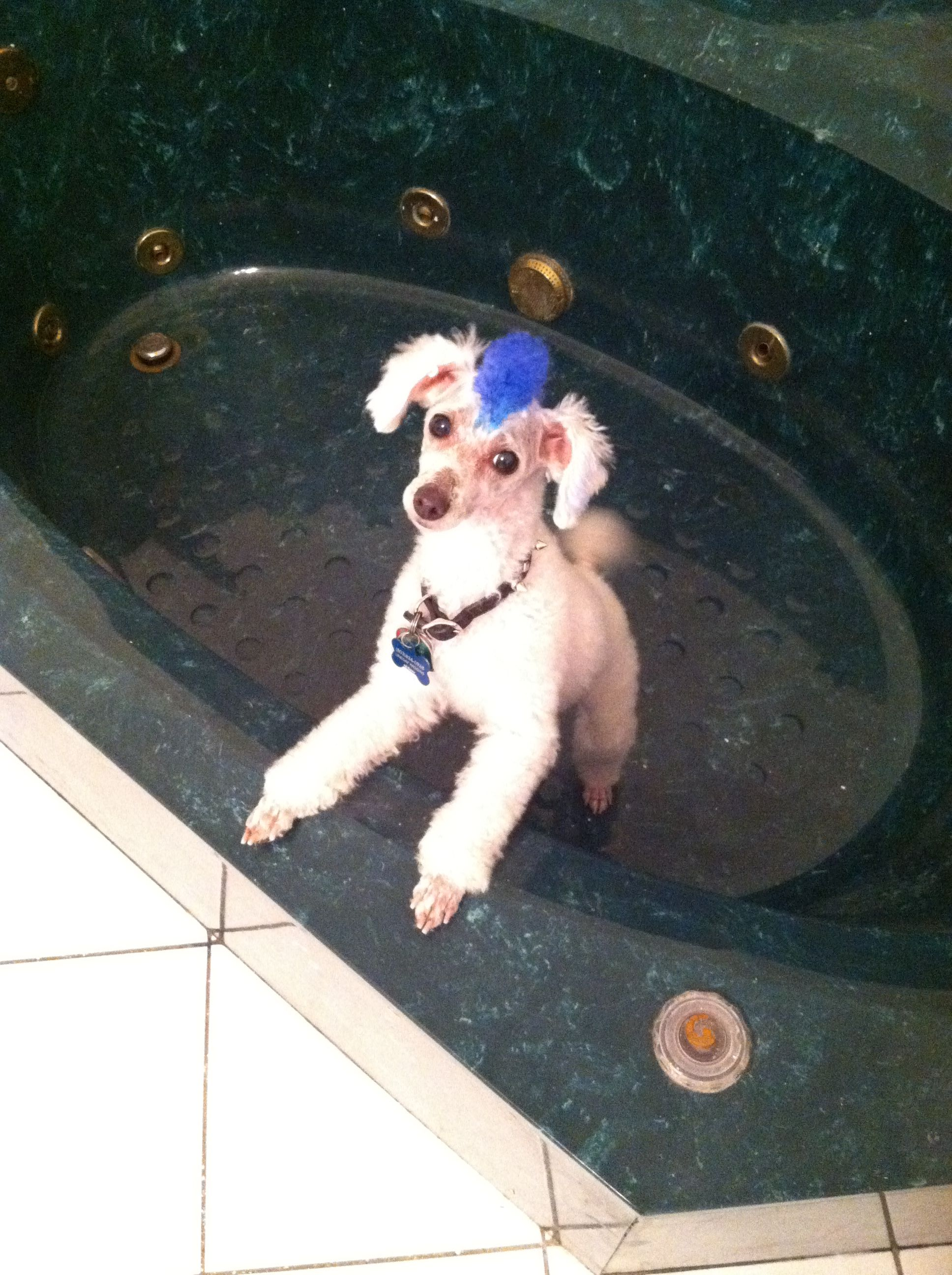 Blue Mohawk Smooch Dog In The The Bath Tub Dogs Animals Poodle