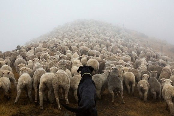 New Zealand #sheep #dog #work