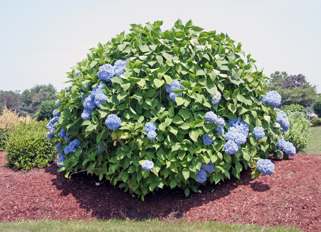 It S Out Of Control The Too Large Hydrangea Hyannis Country Garden In 2020 Large Hydrangea Hydrangea Care Pruning Hydrangeas