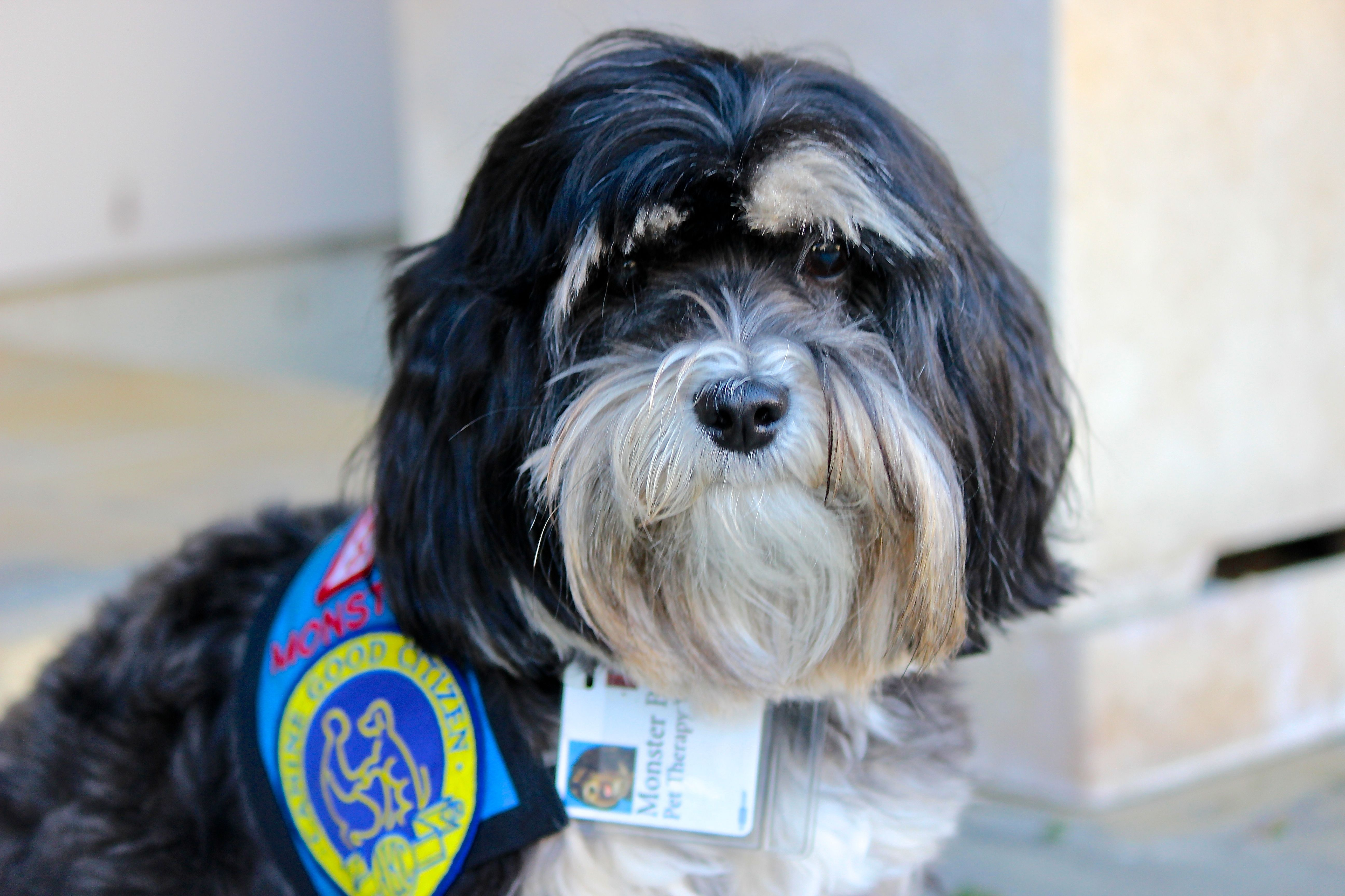 Pin on Havanese Obsession!