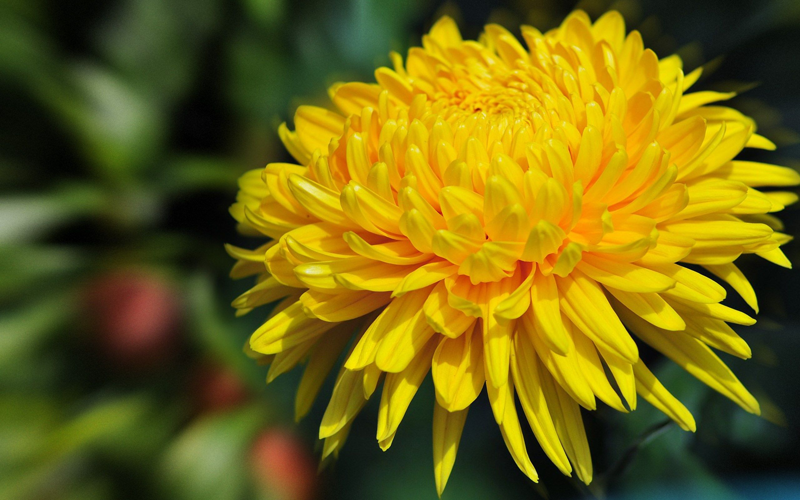 2560x1600 Free Awesome Flower Chrysanthemum Flower Pictures Chrysanthemum Chrysanthemum Flower