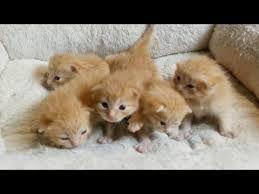 Baby ginger kittens