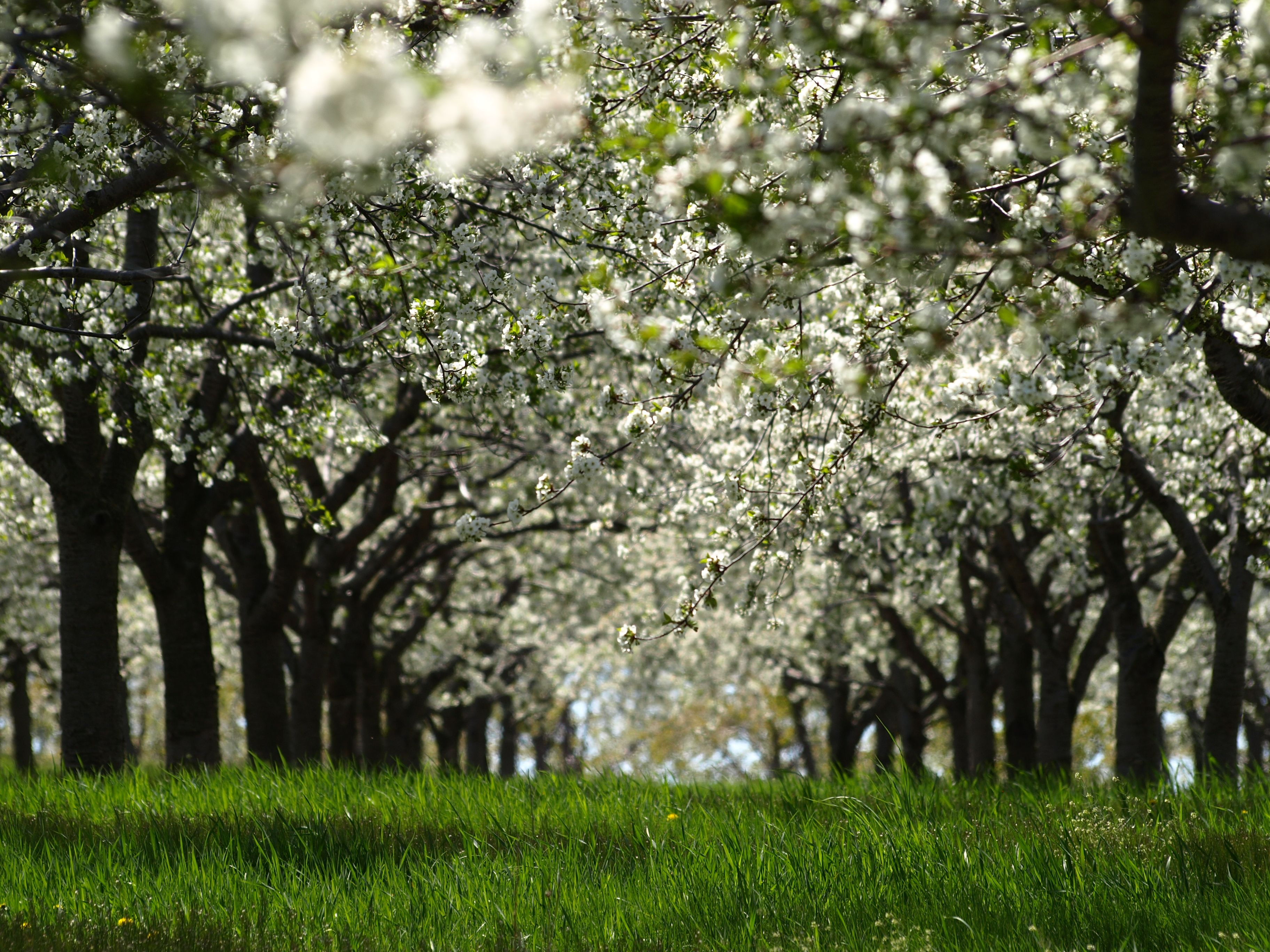 Cherry Blossoms In Traverse City Michigan By Joe Macquarrie Traverse City Michigan Favorite Places