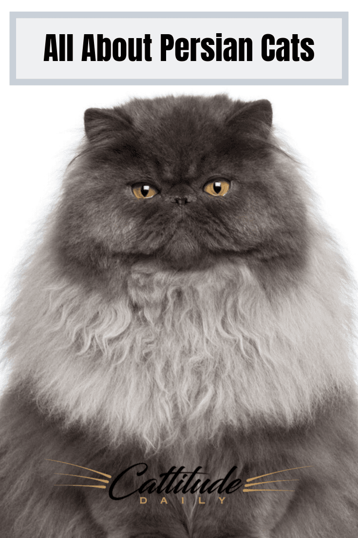 Do You Love Persian Cats Find Out More About Them Here Cattitudedaily Persian Persiancats Persiancatfacts Catfacts Persian Cat Cat Facts Best Cat Breeds