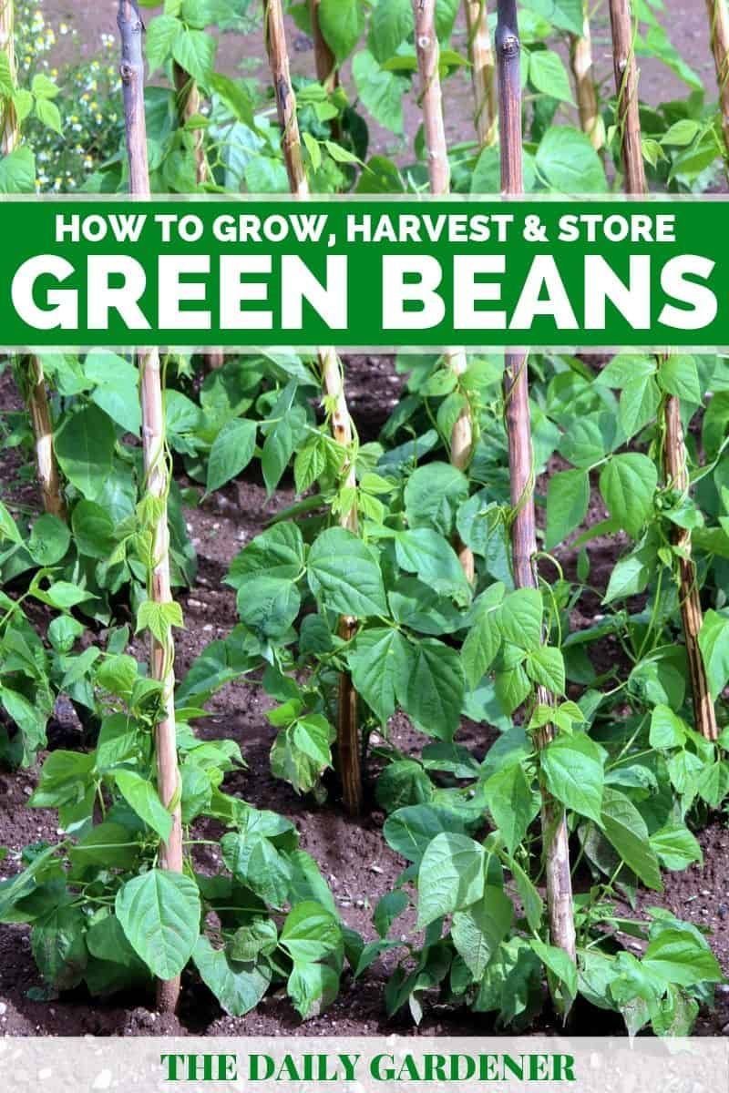 How To Grow Green Beans In Your Garden Planting Green Beans Green Beans Garden Growing Green Beans