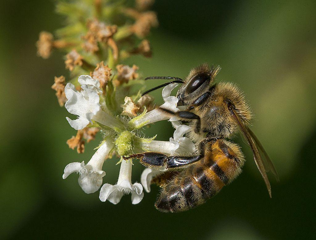 Honey Bee Nectaring on Sweet Almond BushAloysia virgata