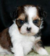 Shorkie Puppies For Sale Shorkie Puppies For Sale Shorkie