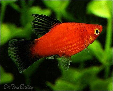 Red Wag Platy Platy Fish Aquarium Fish Fish