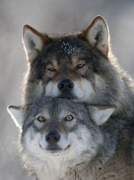 Print of Pair of European grey wolves (Canis lupus