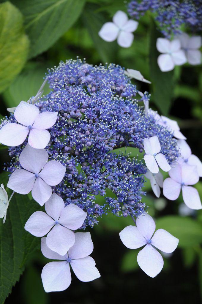 Pin By Fuzz On Garden In 2020 Beautiful Flowers Hydrangea Flower Flowers Perennials
