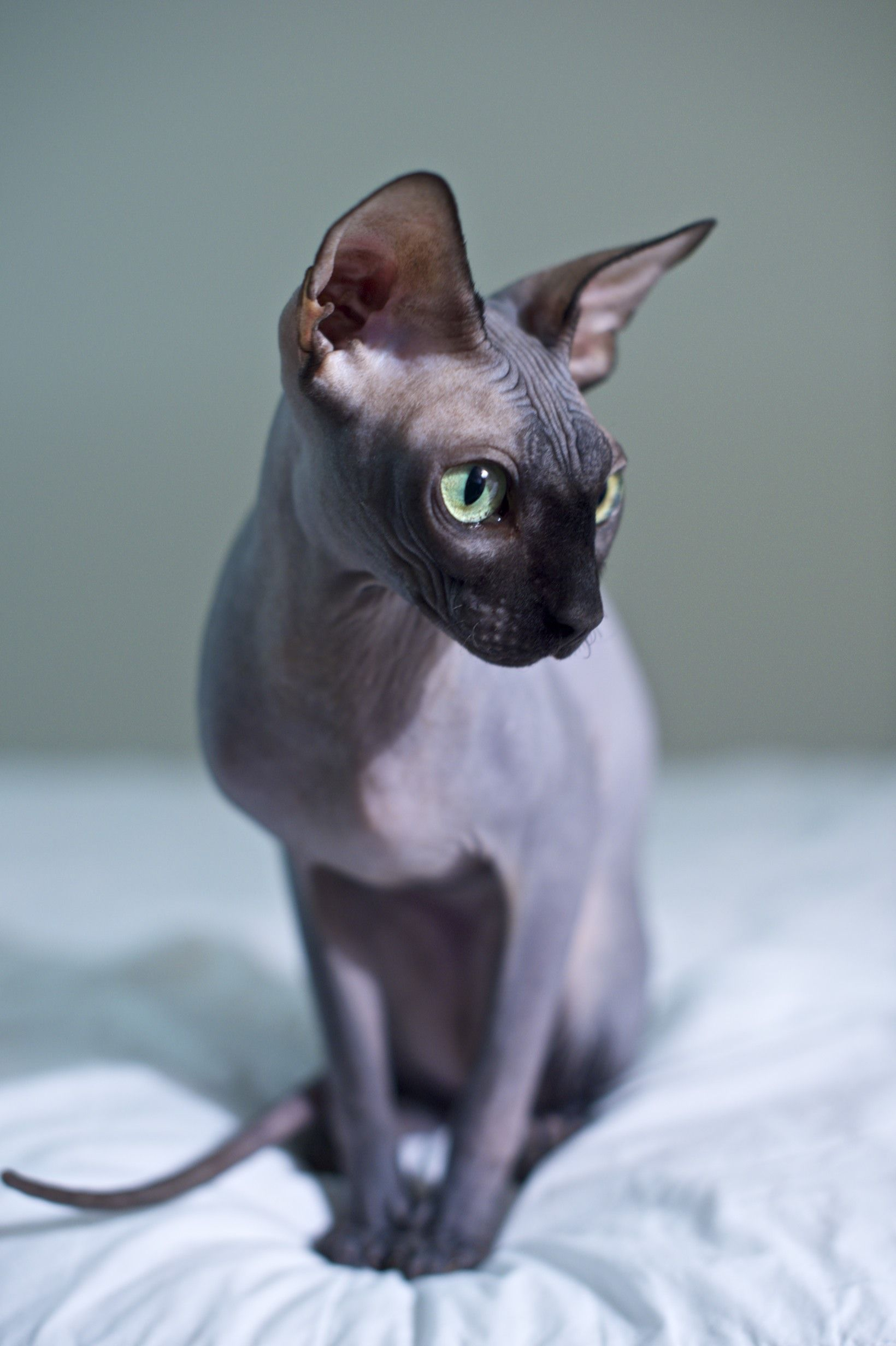 hairless sphynx cat looks very much like our beloved