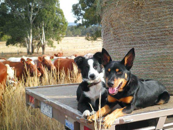 Outback Magazine On Farm Dogs Australian Animals Dogs