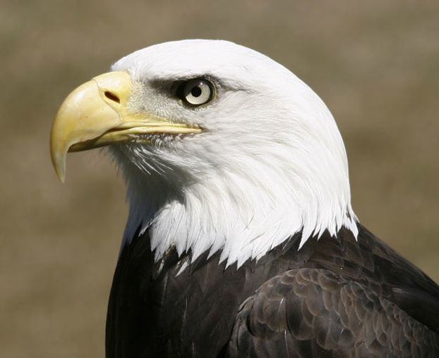 The Eagle Is A Symbol That Has Greatly Assisted In The Perceptions