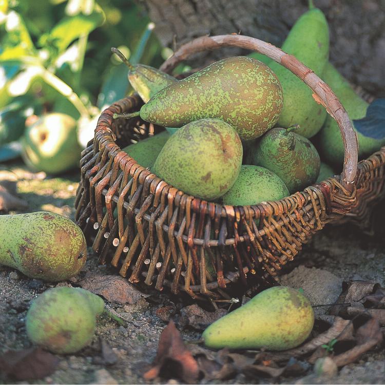 Poirier Conference En 2020 Poirier Arbre Fruitier Fruits