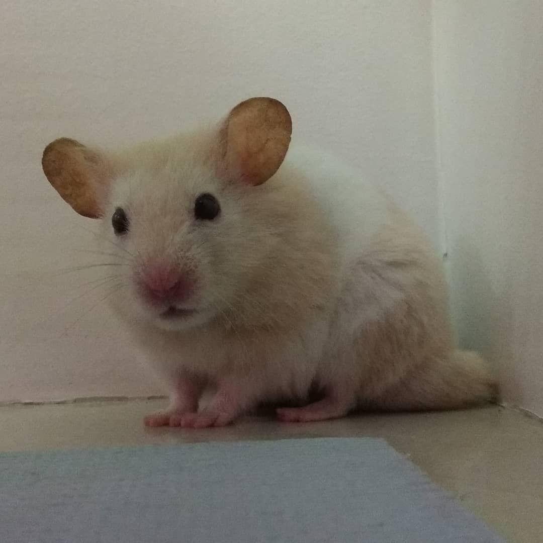 Porque Esta Tirando Foto De Mim Youtube Oswaldo Vardoham Hamster