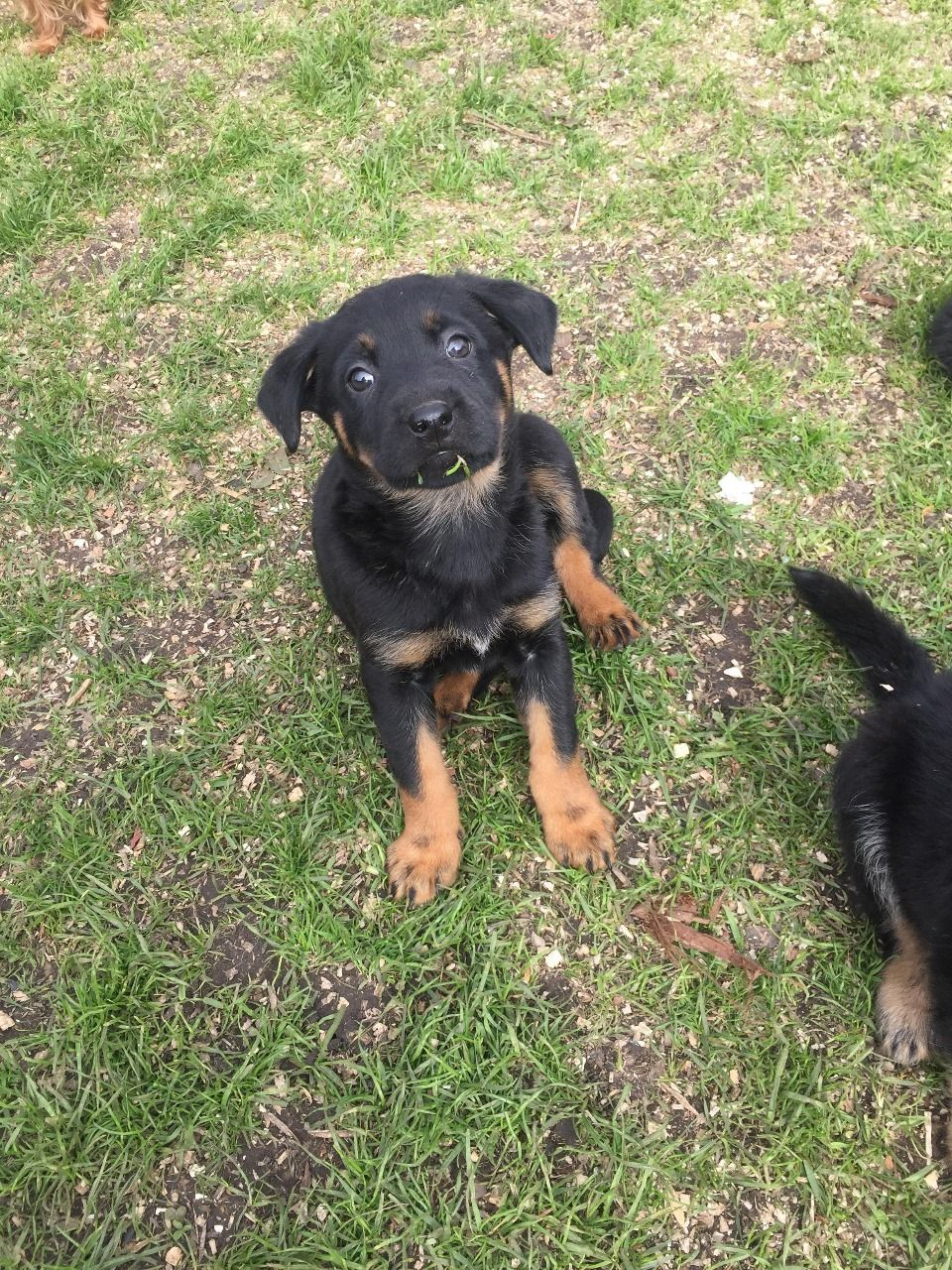 Rottwiller Cross German Shepherd Puppies Ashington Northumberland Pets4homes German Shepherd Puppies Shepherd Puppies Puppies