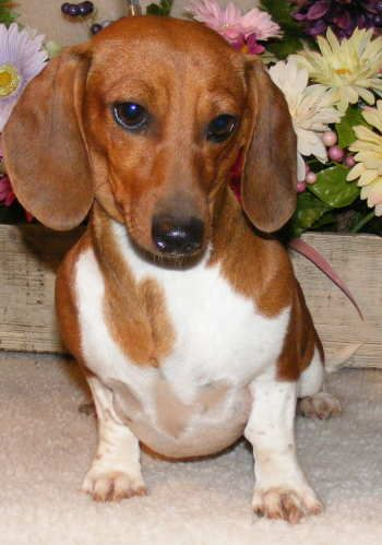 Piebald Dachshund Pictures | Black and tan wirehair piebald More