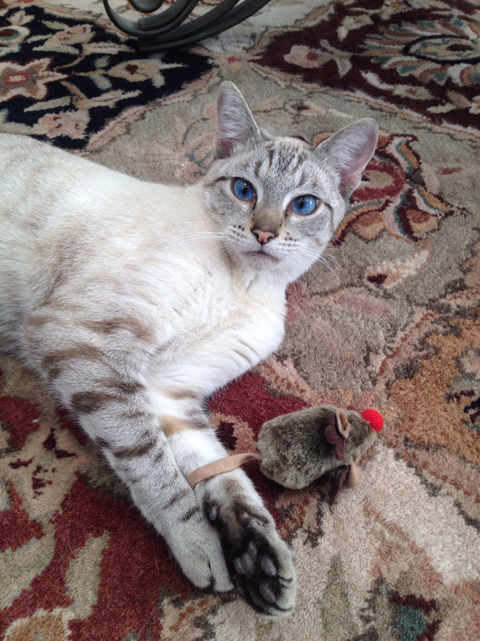 Lynx Point Siamese Cats And Kittens Pedigree Cats Crazy Cats
