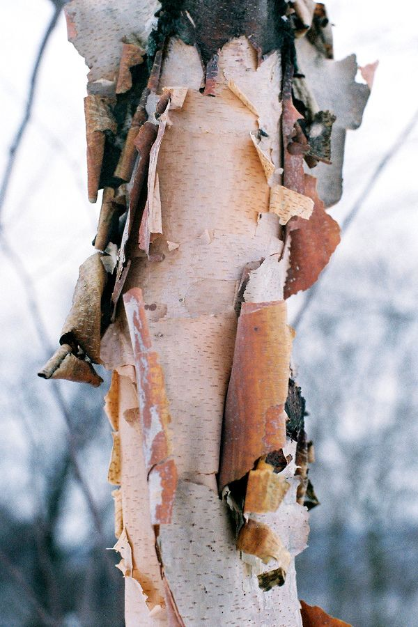 Revealing Layers Of Papery Beauty Tree Textures Texture Birch Tree
