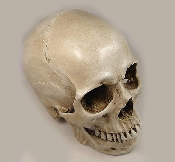 real human skull references for artists Google Search