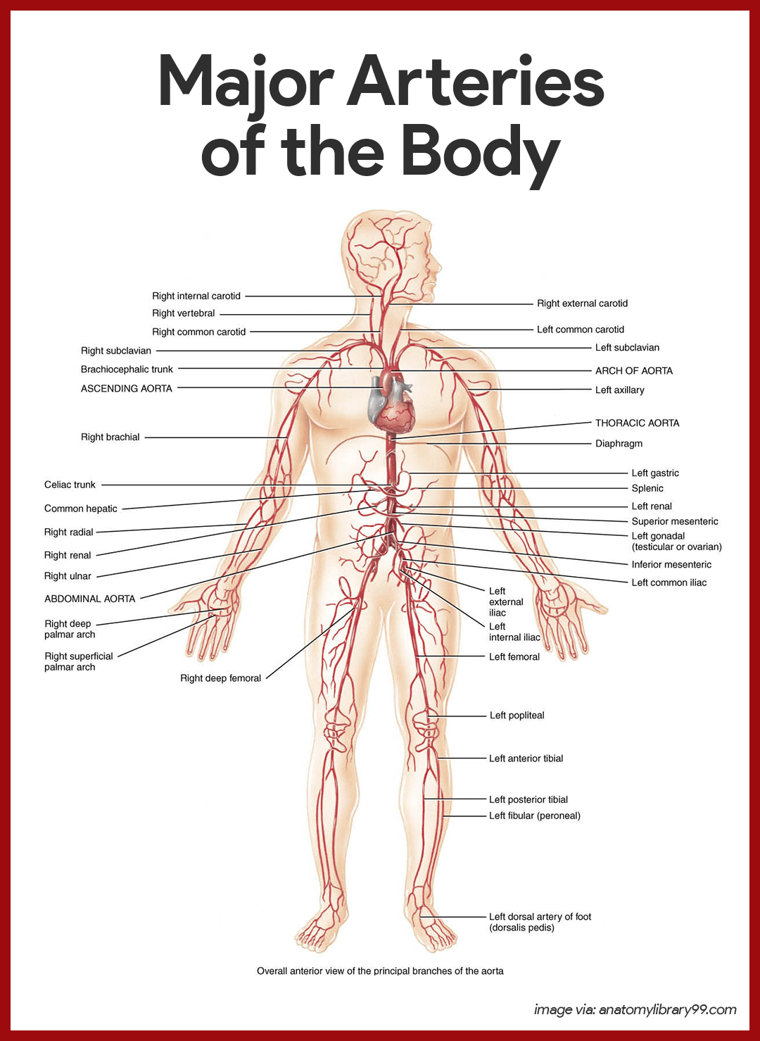Cardiovascular System Anatomy and Physiology | Pinterest | Anatomy ...