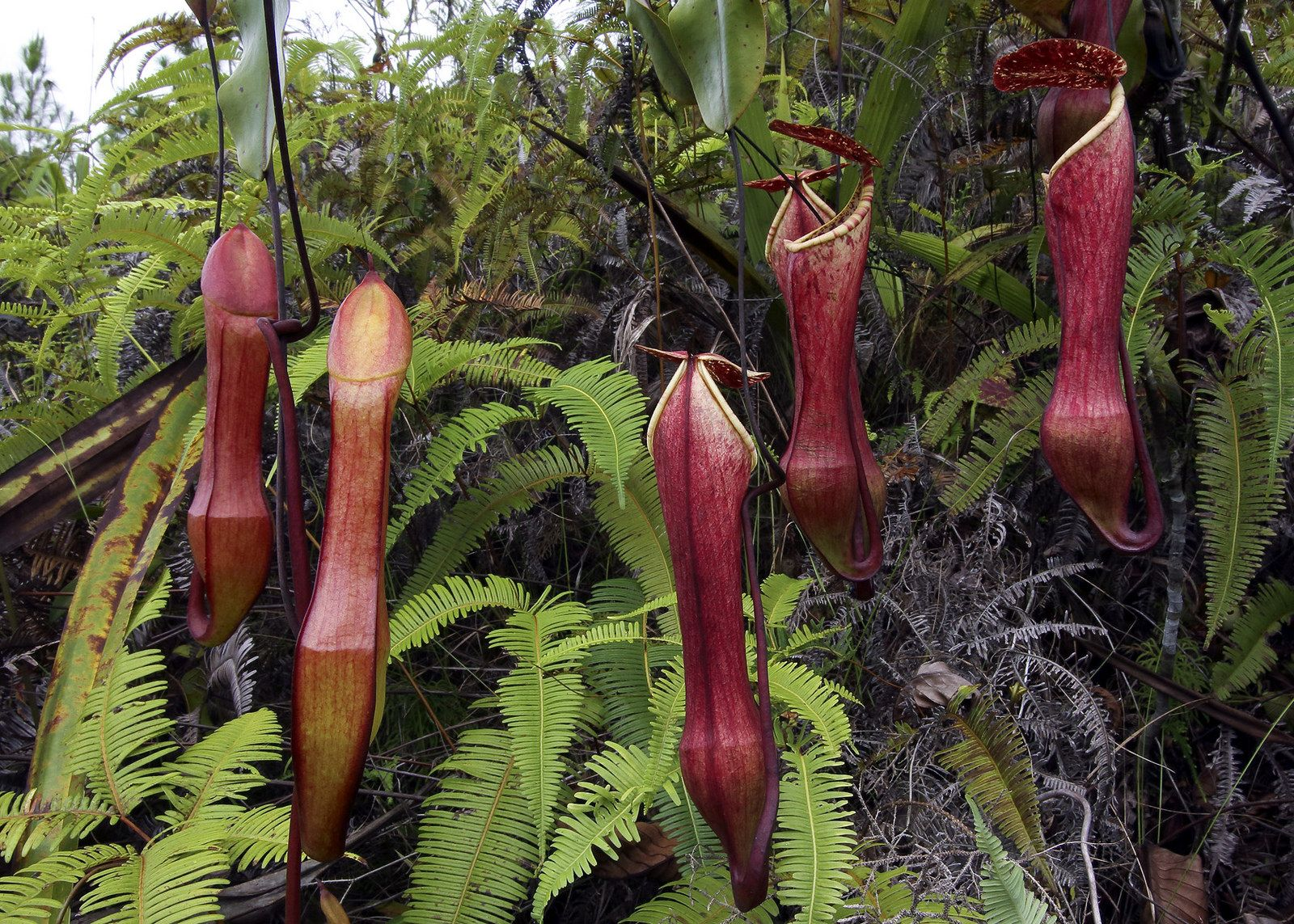 Nepenthes eustachya, Tropical Pitcher Plant in habitat