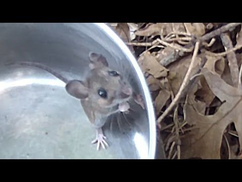 How To Catch A Mouse Youtube Catch A Mouse Pet Mice Catching Mice