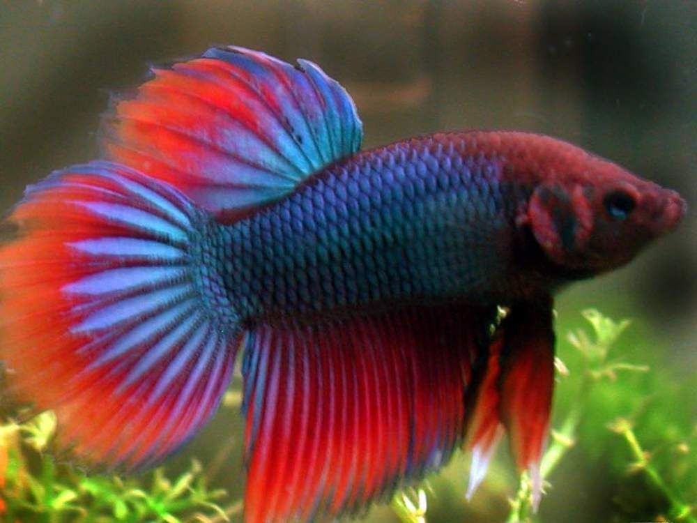 Aquarium Fishes Names And Pictures Fighting Fish Fishes The