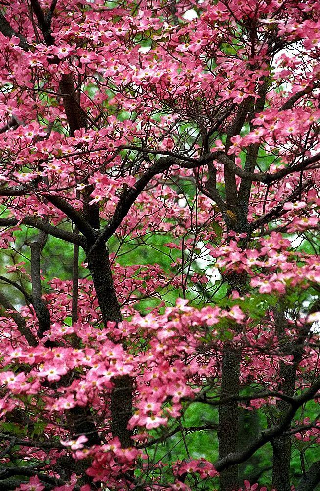 Cincinnati Spring Grove Cemetery Arboretum Pink Dogwood Tree Pink Dogwood Tree Dogwood Trees Spring Grove Cemetery