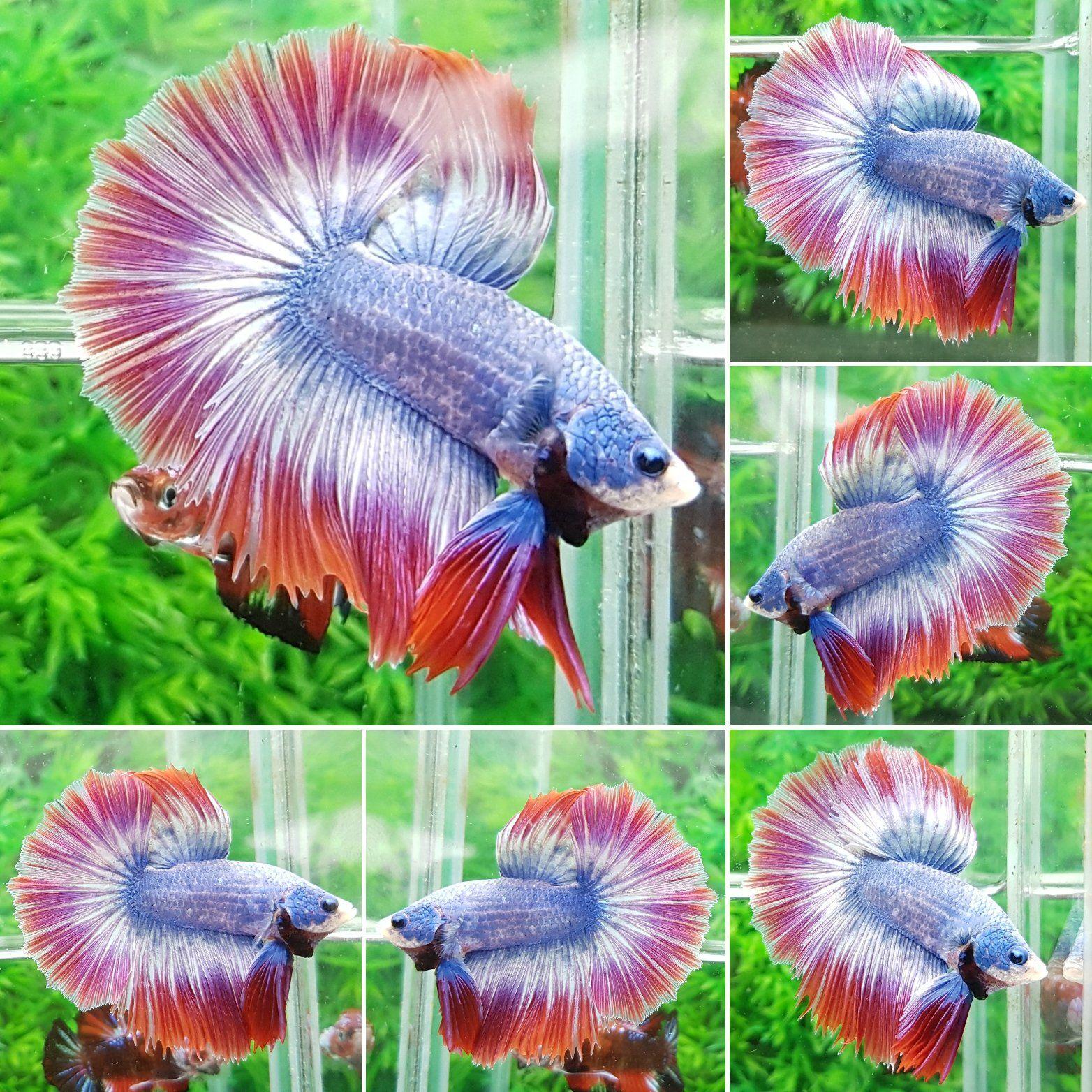 Thailand flag-HM-Male | Beautiful Betta Fish | Pinterest